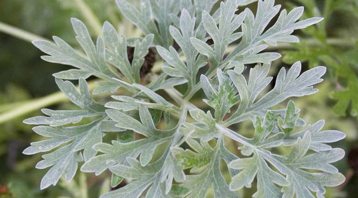 Artemisia Absinthium (absinthe): propriétés, utilisations et où l'acheter