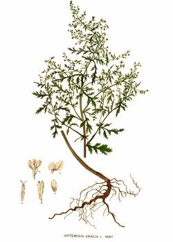 Contre-indications Artemisia annua