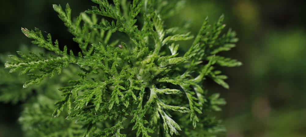 artemisia annua description botanique