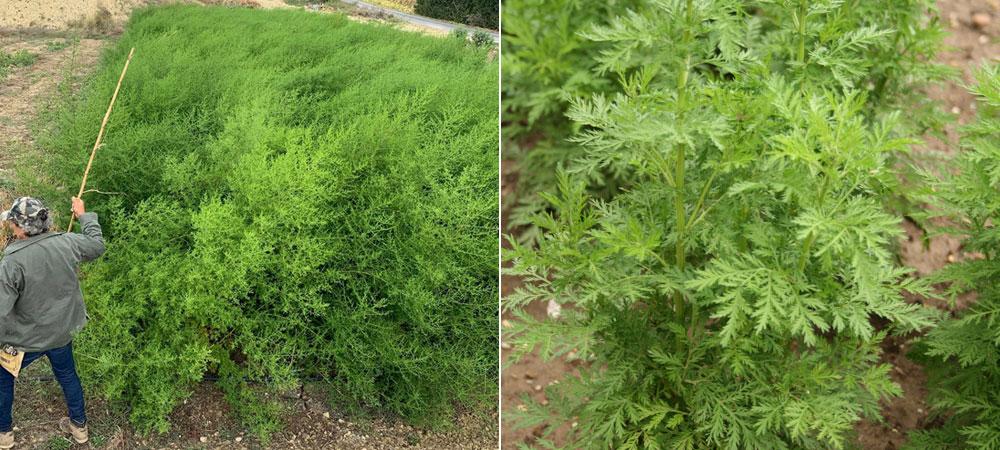 coltivazione di artemisia annua
