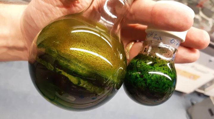 Artemisia annua wird gegen COVID-19 getestet