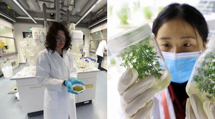 Covid-19: Vom Max-Planck-Institut vielversprechende Ergebnisse der Wirksamkeit von Artemisia annua auf das Virus