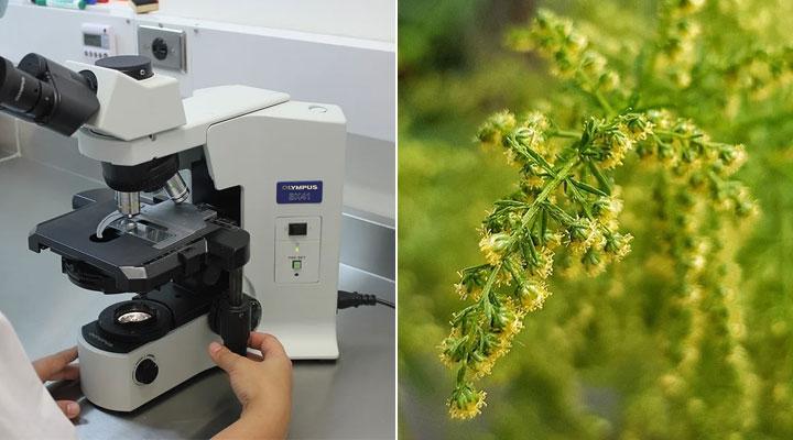 Eine neue Studie zeigt die potenzielle Nützlichkeit von Artemisia annua-Extrakt gegen SARS-CoV-2