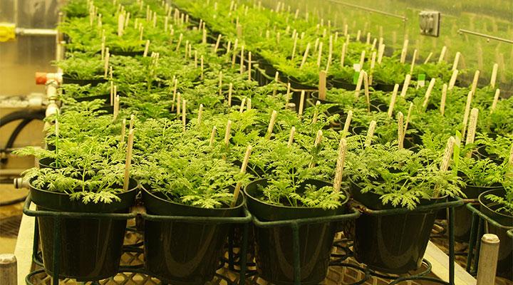 Artemisia Annua: die Pflanze, die Malaria behandelt